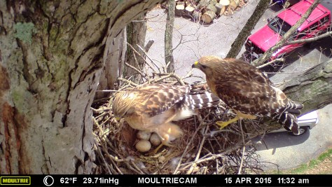 Image of hawk family taken with wildlife camera