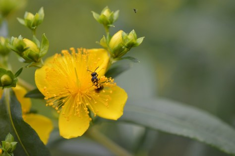 Image of shrubby St. John's wort with Hylaeus bee