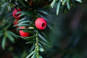 Image of English yew (Taxus baccata) by Mark Robinson/Creative Commons
