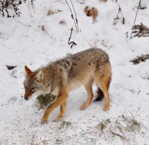 coyotes_lisataft