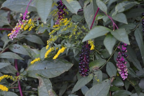 Image of pokeweed and goldenrod