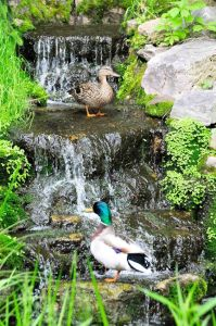 Image of ducks in waterfall_Lisa Taft