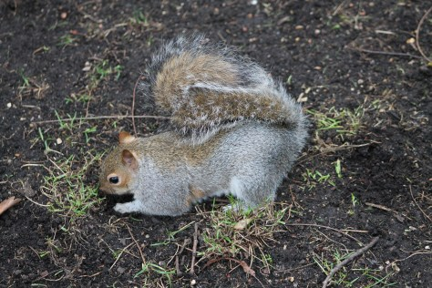 Image of Eastern gray squirrel in Hyde Park by Monkeywing