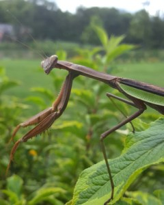 Image of Praying Mantis_Paige Nugent