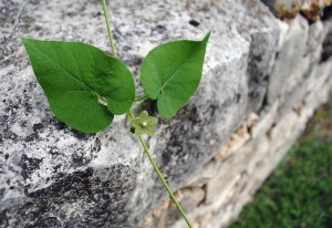Image of pearl milkweed_Tait Moring