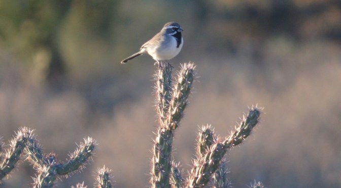 Image of black-throated sparrow on cholla cactus