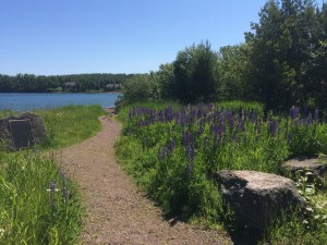 Image of Rest stop lupines in Minnesota