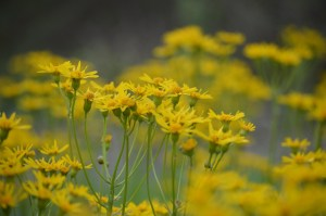 Image of golden ragwort flowers