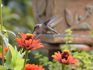Image of hummingbird on zinnia