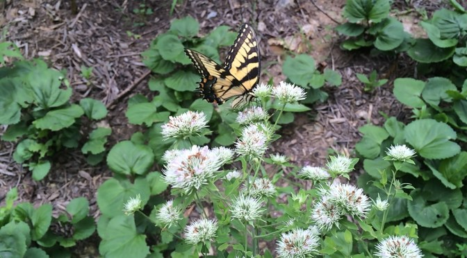 Image of Eastern tiger swallowtail on mountain mint