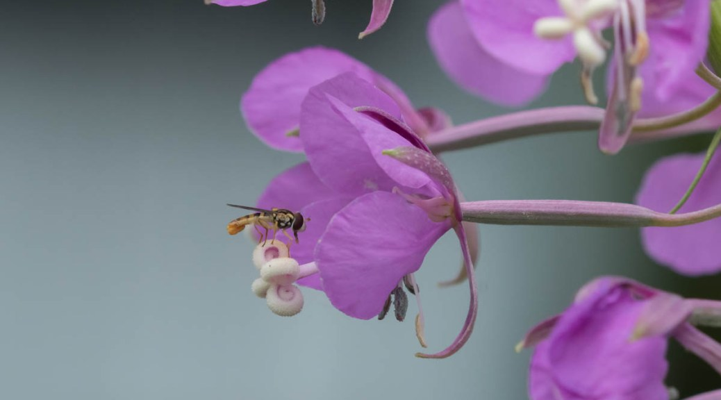 Image of Syrphid fly on fireweed