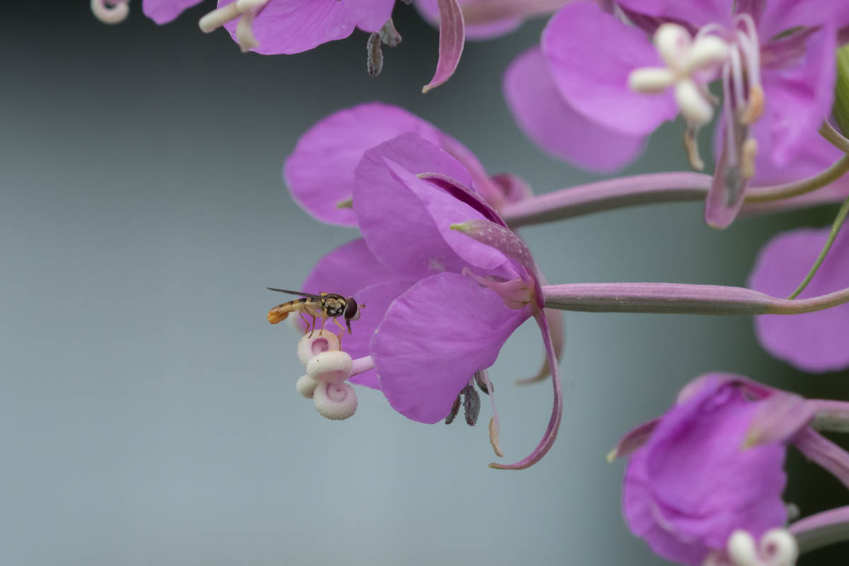 Image Of Syrphid Fly On Fireweed. Humane Gardening Heroes