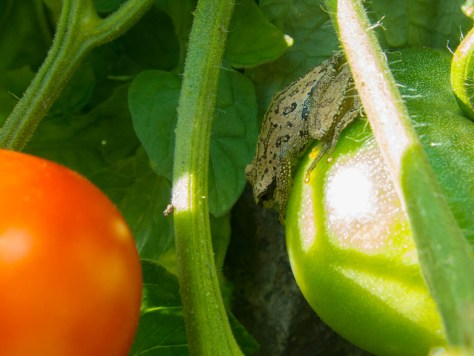 Image of Pacific chorus frog on tomato
