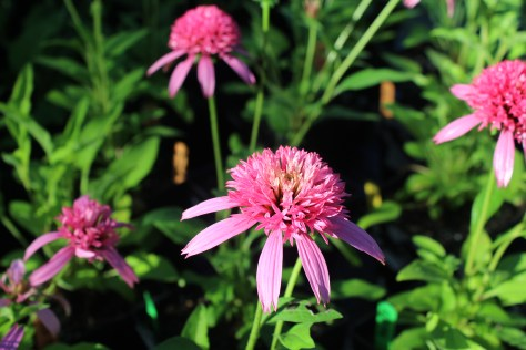 Echinacea_Pink-Double-Delight