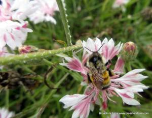 Image of bumblebee at Broadfork Farm