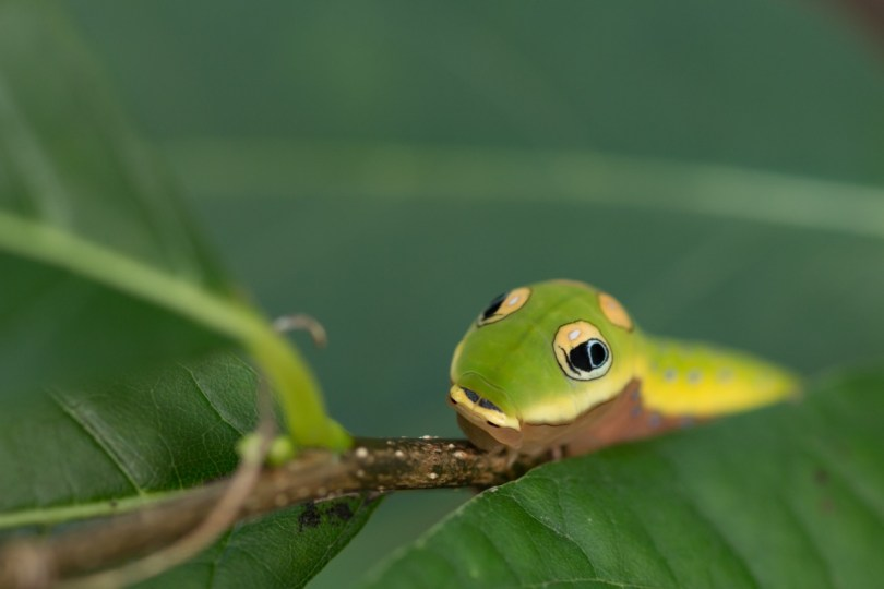Image of spicebush swallowtail caterpillar