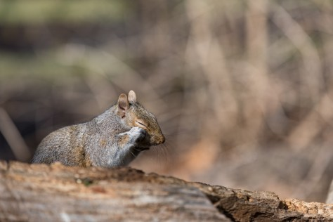 Image of squirrel rubbing eye