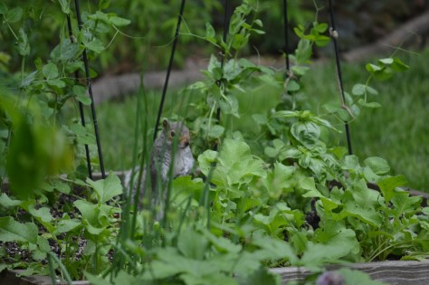 Image of squirrel in veg garden