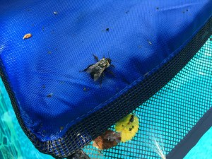 Image of bee on frog log in swimming pool