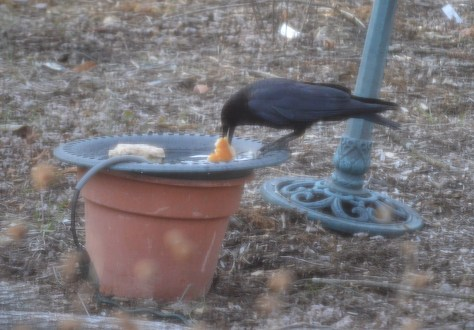 Image of crow with bread in birdbath
