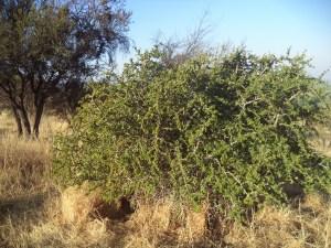 Dicot and Mol tree in Soledad Robledo's garden