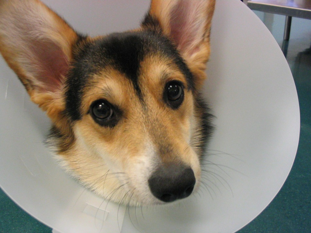 Pleasing Dogs After Not Plastic Humans Dogs After Not Plastic Collar Collar Dogs Homemade Dog Cone Homemade Dog Cone Towel curbed Homemade Dog Cone