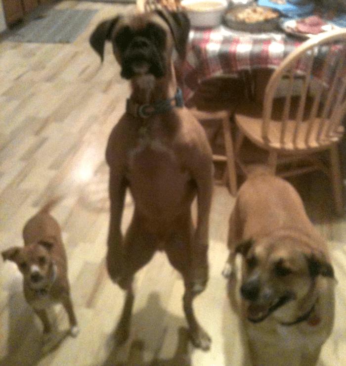 26 תמונות מצחיקות של כלבים שבטוחים שהם בני אדם