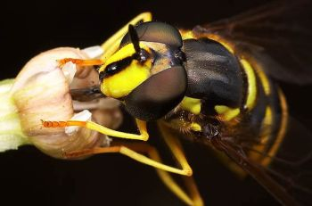 syrphid_fly_nectaring_lg