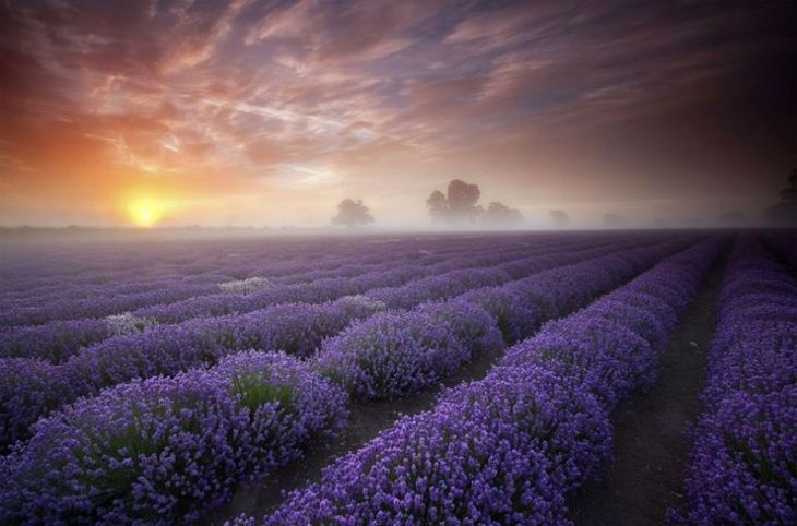 15- Lavender Fields (France)