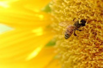 Bee-and-Sunflower-pinzino-sxc