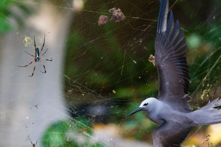 sticky-situation--isak-pretorius-from-south-africa-found-a-lesser-noddy-a-bird-that-flies-to-an-island-in-the-seychelles-to-breed-entangled-in-the-large-web-of-a-red-legged-golden-orb-web-spiders-the-female-spiders-can-