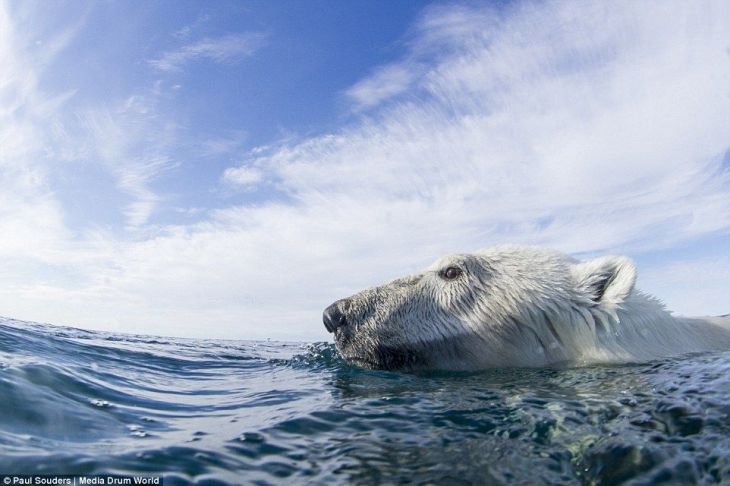 239BB6E200000578-2854797-Doggy_paddle_A_polar_bear_s_head_is_seen_emerging_just_above_the-106_1417359944571