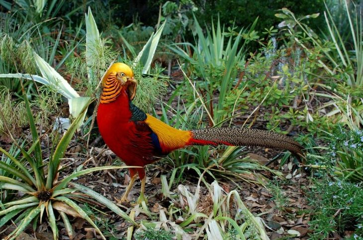 Red Golden Pheasant