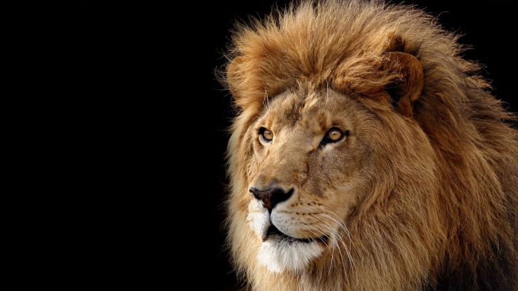 Lion-face-amazing-hd-pics