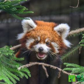 2nd Pair of Red Panda Cubs to be Officially Named at Taipei Zoo
