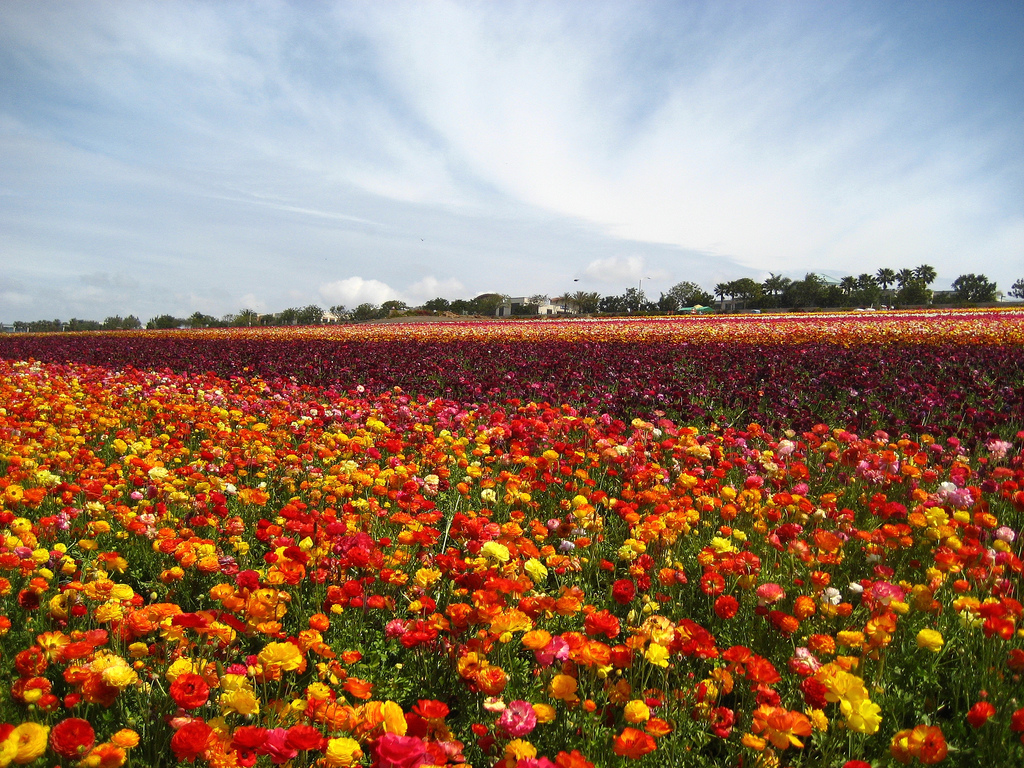 flower field carpet festival