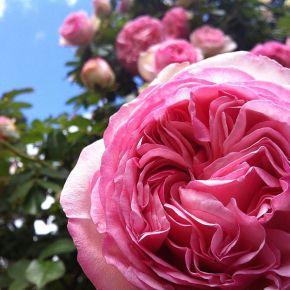 Shilin Official Residence Rose Garden in Full Bloom