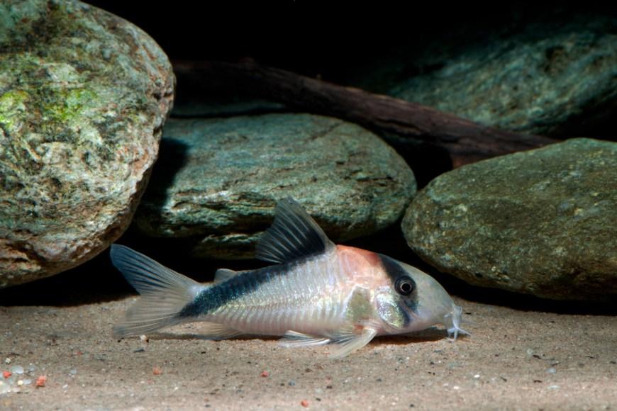 Corydoras cf. davidsandsi