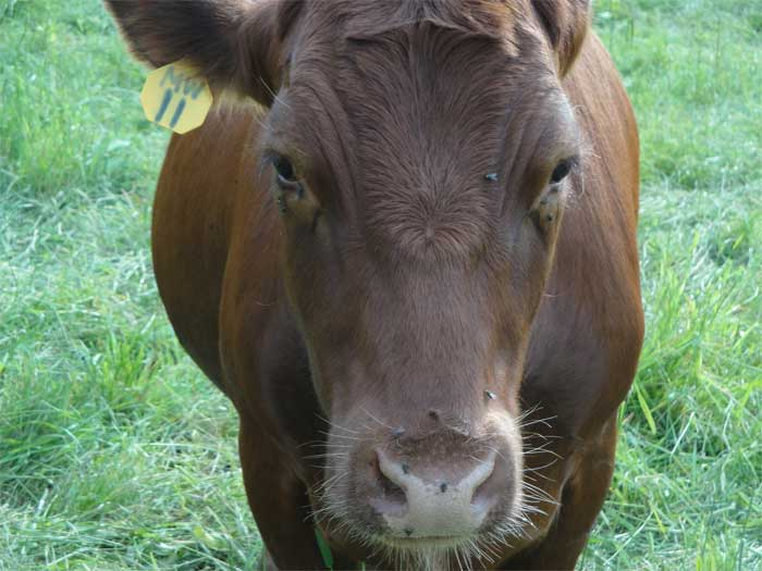 this was my favorite cow, always wanted to get an extra long scratching on the nose area