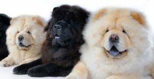 chow chow gruppo