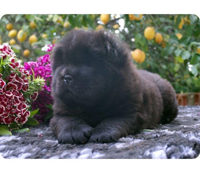 Oltre Mille euro per un cucciolo chow chow ? Non è un furto