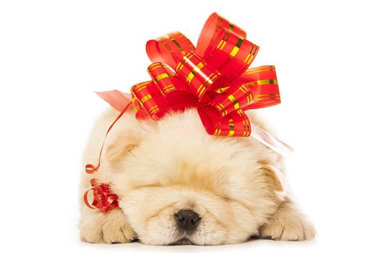 Un cucciolo Chow chow regalo per Natale ? Attenti…