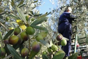 Cade dall'albero mentre coglie le olive: ferito