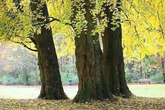 Gingko golden autumn leaves