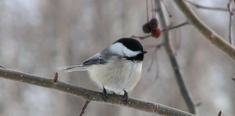 Shrubs To Feed The Birds