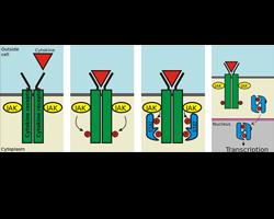 La  Fototerapia,  il  Tacrolimus  e  i  JAK inibitori  per  cura  della  Vitiligine