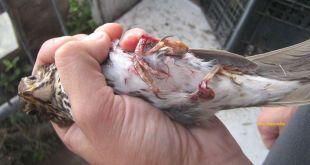 uccelli-feriti