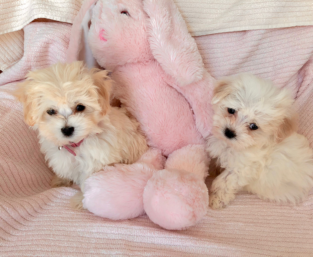Swish Se Areour Raised Havanese Dogs Small Indiana Havanese Puppies Greenfield Maltese Puppies Reviews Greenfield Puppies Reviews Amish Love Our Home Live We Breed We Are A Family Breeder houzz 01 Greenfield Puppies Review