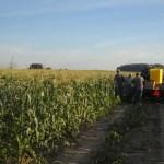 Early Morning Sweet Corn Harvest