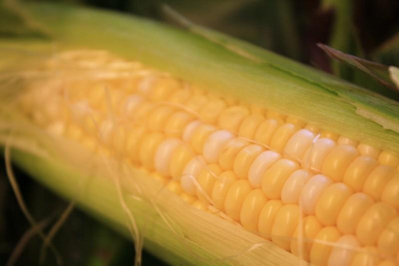 Indiana Sweet Corn
